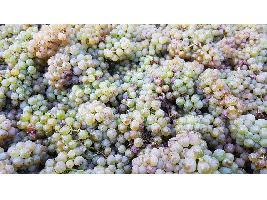 La vendimia en la DOP Vinos Gran Canaria supera en casi un 65% la producción de 2019 en este tramo del año