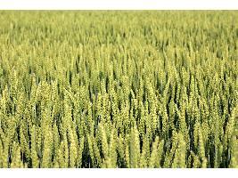 Se mantiene la subida de los cereales en la Lonja del Ebro con un mercado con más demanda que oferta