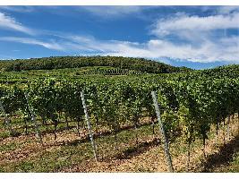 Autorizan utilización de planta injertada con material estándar para campaña 2020/2021 de reestructuración y reconversión de viñedo en Castilla-La Mancha.