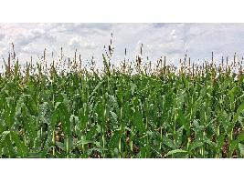 El Consejo Internacional eleva la cosecha mundial 21/22 hasta los 2.289 millones de tonelada