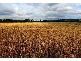 El mercado cerealista continúa tranquilo sin grandes cambios ni operaciones de grandes volúmenes en la lonja del Ebro