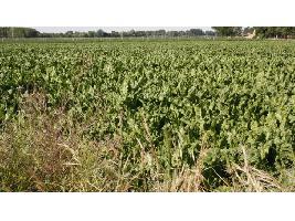 España se mantiene como líder de rendimientos en la producción de remolacha en 2020, según el último informe MARS