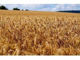 Los precios de los cereales en los mercados mayoristas siguen fuertes aunque las subidas ya son en menor medida que antes.