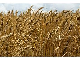 Los precios de los cereales se encarecen de nuevo de forma generalizada salvo el de la cebada de malta que pierde cinco euros.
