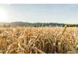 Los últimos datos de Cooperativas ratifican una cosecha histórica de cereal y abre el debate sobre su comercialización