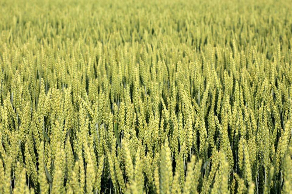 Se mantiene la subida de los cereales en la Lonja del Ebro con un mercado con más demanda que oferta - 0