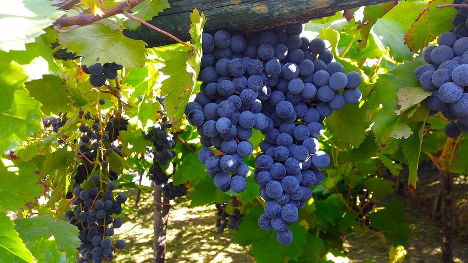 Aprobados más de 126 millones de euros en ayudas para el sector del vino