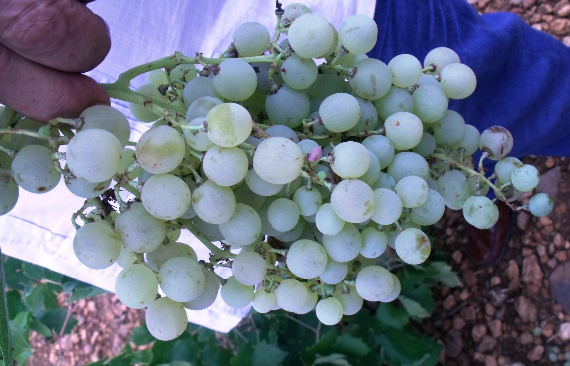 Asaja Socuéllamos consigue mejorar el precio de la uva airén como perseguía en sus manifestaciones - 0
