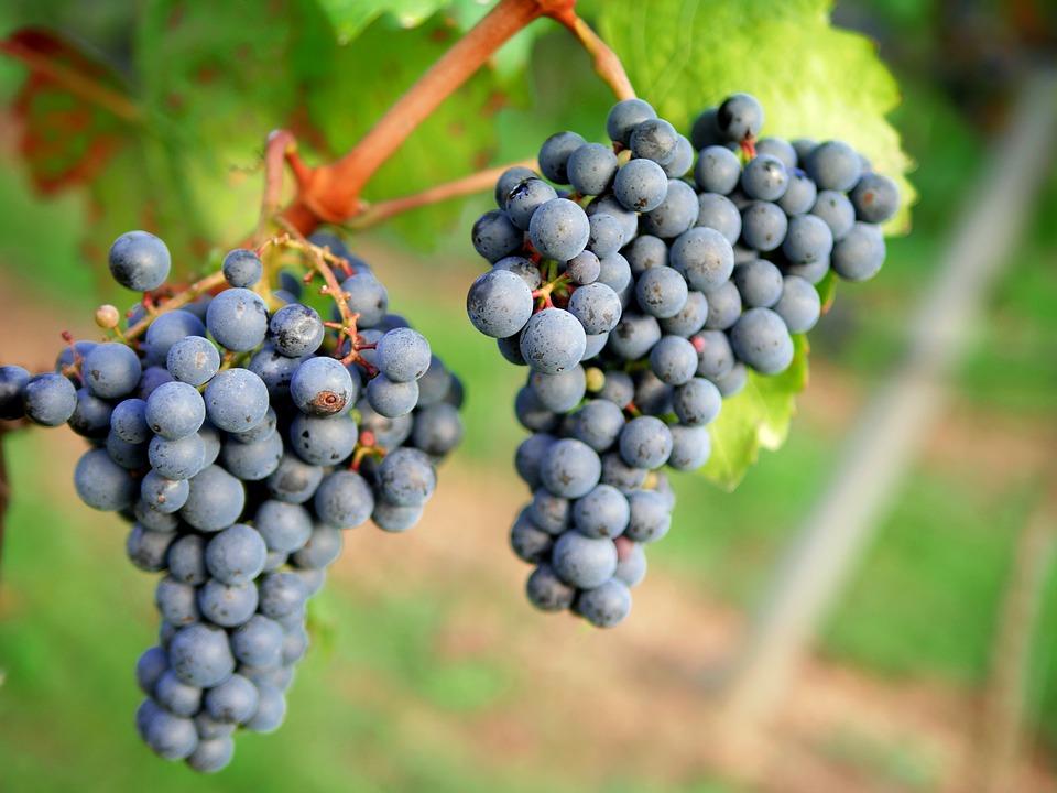 Comienza una «buena» vendimia en la DO León con la expectativa de llegar a los 3,5 millones de kilos de uva calificada - 0