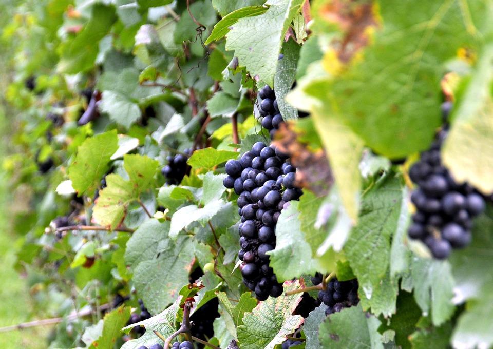 Disminuir un 60% la erosión de los viñedos en pendiente, es posible con cubierta vegetal - 0