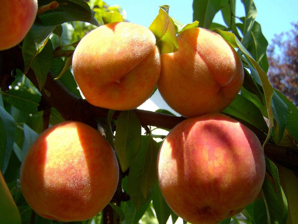 En Europa se hielan mientras que en España se frotan las manos por los beneficios que conllevará ante la campaña de fruta de hueso.