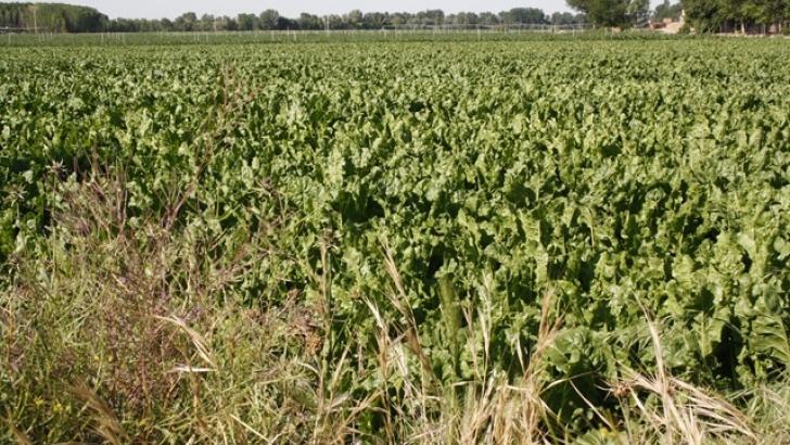 España se mantiene como líder de rendimientos en la producción de remolacha en 2020, según el último informe MARS - 0