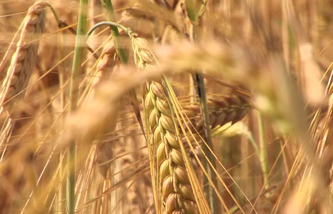 La caída de la producción mundial deberá provocar un incremento de los precios del trigo duro nacional