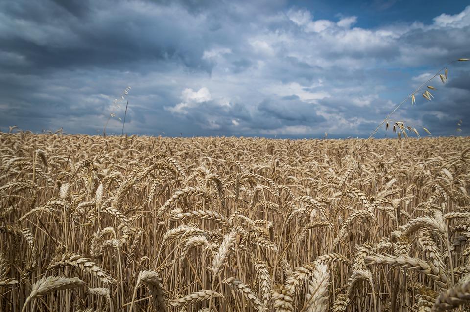 La Comisión Europea sitúa la cosecha de cereales en los 294,8 millones de toneladas, la de oleaginosas en los 30,4 y la de remolacha en los 113 millones - 0