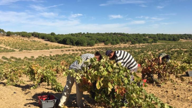 La Denominación de Origen Toro ha comenzado a recoger las primeras uvas con buenas perspectivas - 0