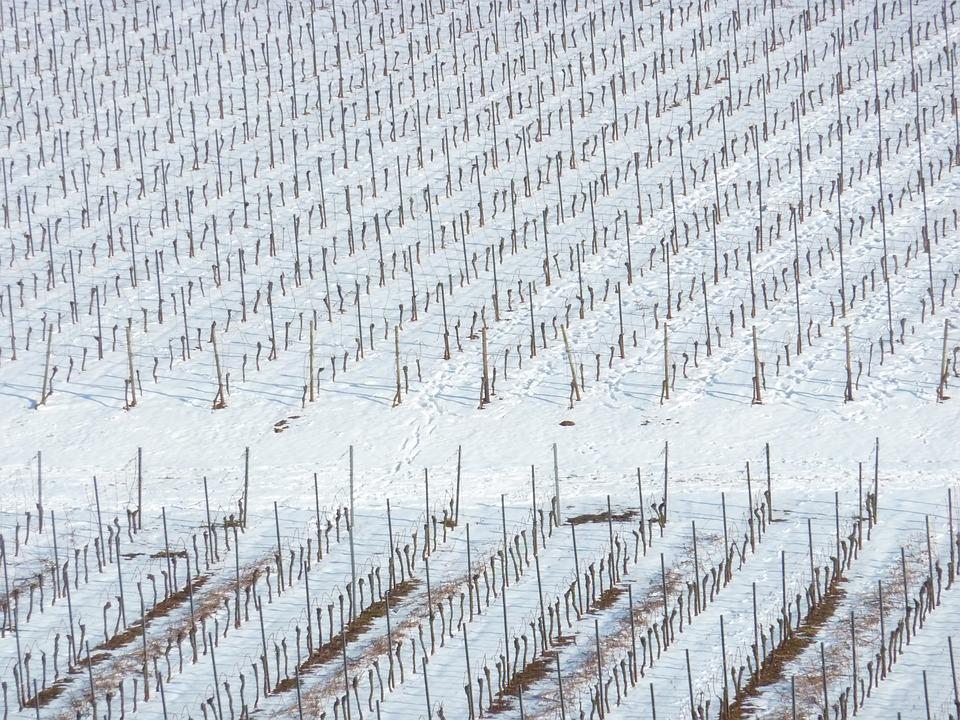 ¿La nieve es buena o mala para el viñedo?
