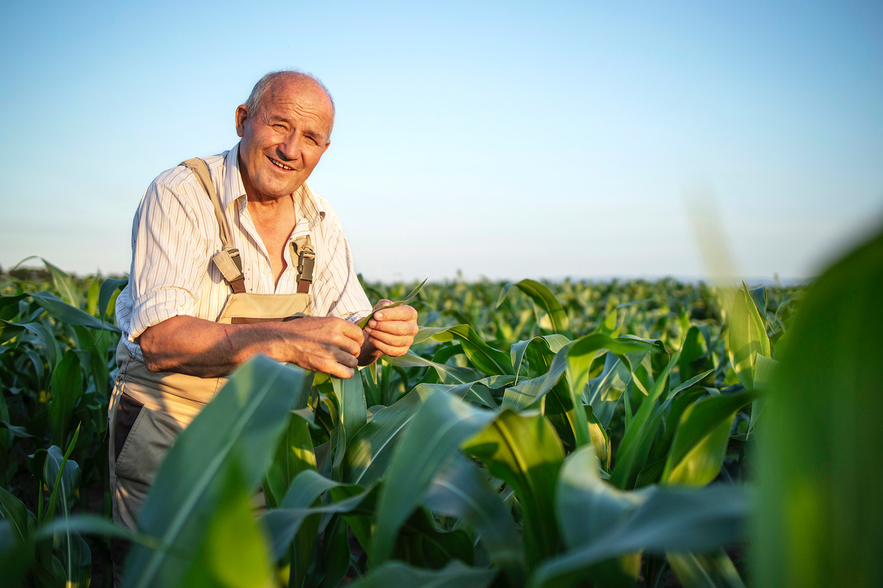 Los cultivos de verano en Aragón: maíz, girasol y arroz