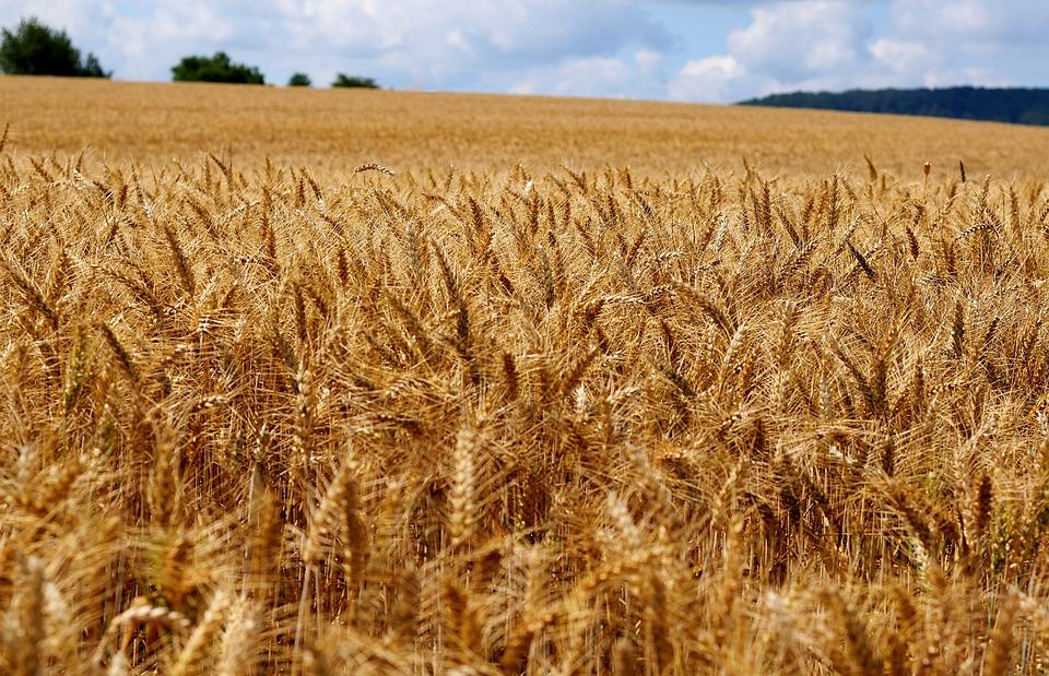 Los precios de los cereales en los mercados mayoristas siguen fuertes aunque las subidas ya son en menor medida que antes. - 0