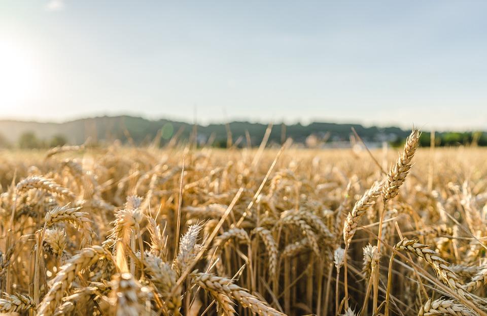 Los últimos datos de Cooperativas ratifican una cosecha histórica de cereal y abre el debate sobre su comercialización - 0