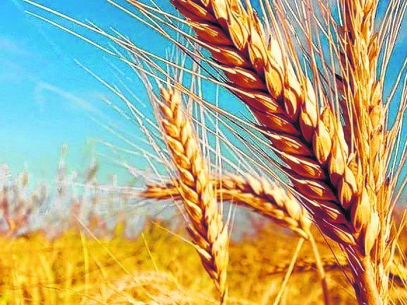 Precaución al vender el trigo: Tres días de subidas en los mercados internacionales invitan a moderar las ventas y esperar el mejor momento