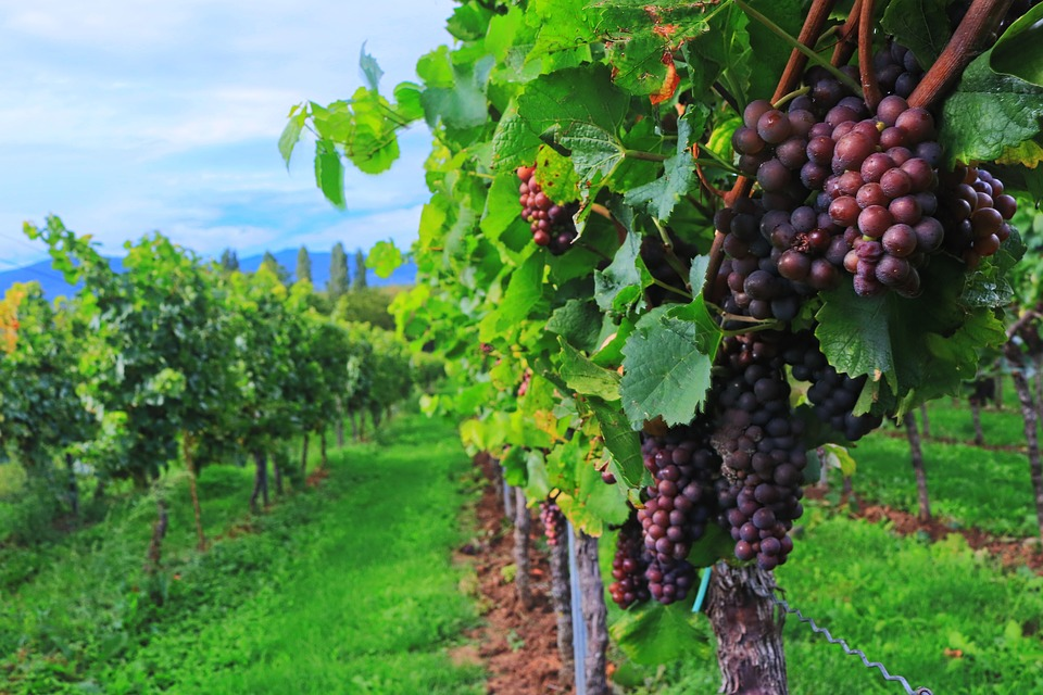 Reestructuradas casi 440.000 ha de viñedo en España con ayuda UE de 2.353 M€ en los últimos 20 años. - 0