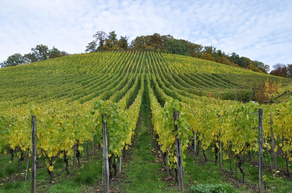 Ven buenas perspectivas del mercado del vino para las cooperativas durante esta campaña - 0